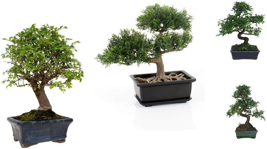 comprar-bonsai-online